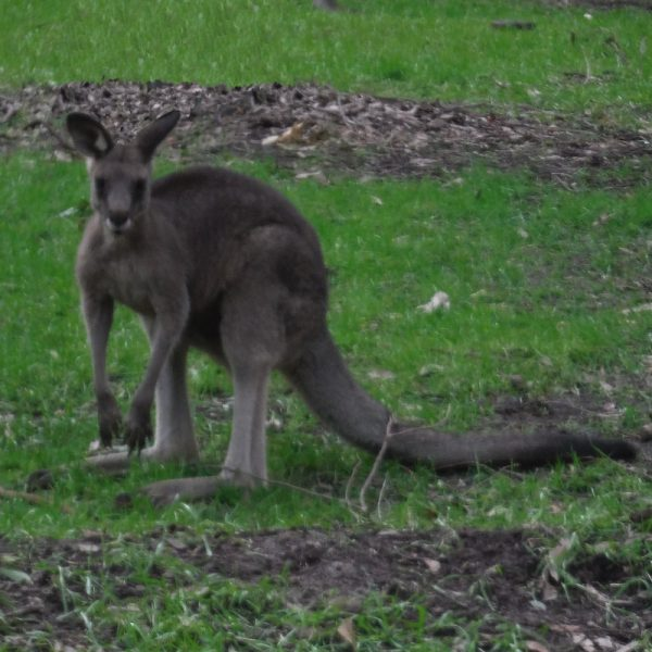 Newcastle Small Bus Charter will take you to see a kangaroo on the grass like this one